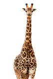 Safari Profile Collection - Giraffe White Edition Photographic Print by Philippe Hugonnard