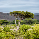 Awesome South Africa Collection Square - Umbrella Acacia Tree II Photographic Print by Philippe Hugonnard