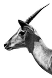 Safari Profile Collection - Antelope Impala White Edition V Photographic Print by Philippe Hugonnard