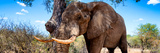 Awesome South Africa Collection Panoramic - Male African Elephant Photographic Print by Philippe Hugonnard