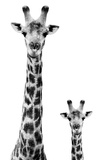 Safari Profile Collection - Giraffe and Baby White Edition II Photographic Print by Philippe Hugonnard
