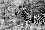 Awesome South Africa Collection B&W - Portrait of Burchell's Zebra I Photographic Print by Philippe Hugonnard
