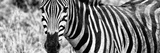 Awesome South Africa Collection Panoramic - Zebra Portrait B&W Photographic Print by Philippe Hugonnard