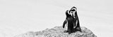 Awesome South Africa Collection Panoramic - Penguins Kissing B&W Photographic Print by Philippe Hugonnard