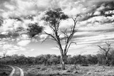 Awesome South Africa Collection B&W - African Landscape with Acacia Tree V Photographic Print by Philippe Hugonnard