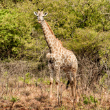 Awesome South Africa Collection Square - Giraffe Portrait II Photographic Print by Philippe Hugonnard