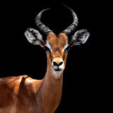 Safari Profile Collection - Antelope Black Edition VI Photographic Print by Philippe Hugonnard