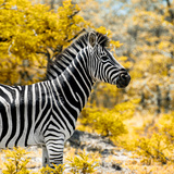 Awesome South Africa Collection Square - Zebra Portrait II Photographic Print by Philippe Hugonnard