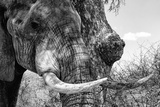 Awesome South Africa Collection B&W - Elephant Portrait III Photographic Print by Philippe Hugonnard