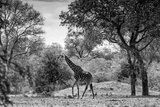 Awesome South Africa Collection B&W - Giraffe in the Savanna Photographic Print by Philippe Hugonnard