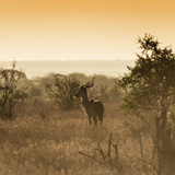 Awesome South Africa Collection Square - Impala Antelope at Sunrise Photographic Print by Philippe Hugonnard