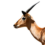 Safari Profile Collection - Antelope Impala White Edition IV Photographic Print by Philippe Hugonnard