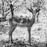 Awesome South Africa Collection Square - Young Impala Portrait B&W Photographic Print by Philippe Hugonnard