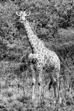 Awesome South Africa Collection B&W - African Giraffe IV Photographic Print by Philippe Hugonnard