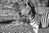 Awesome South Africa Collection B&W - Burchell's Zebra Portrait III Photographic Print by Philippe Hugonnard