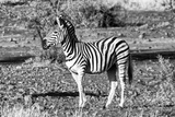 Awesome South Africa Collection B&W - Burchell's Zebra Portrait Photographic Print by Philippe Hugonnard