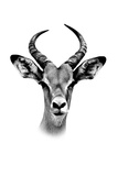 Safari Profile Collection - Antelope Portrait White Edition Photographic Print by Philippe Hugonnard