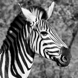 Awesome South Africa Collection Square - Zebra Head B&W Photographic Print by Philippe Hugonnard