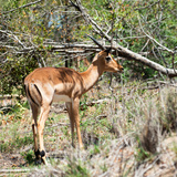 Awesome South Africa Collection Square - Young Impala Photographic Print by Philippe Hugonnard