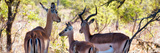 Awesome South Africa Collection Panoramic - Impala Family Photographic Print by Philippe Hugonnard