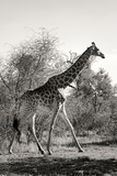 Awesome South Africa Collection B&W - African Giraffe Photographic Print by Philippe Hugonnard