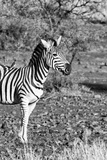 Awesome South Africa Collection B&W - Burchell's Zebra with Oxpecker II Photographic Print by Philippe Hugonnard