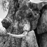 Awesome South Africa Collection Square - Close-Up of Elephant B&W Photographic Print by Philippe Hugonnard