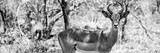Awesome South Africa Collection Panoramic - Impala Portrait B&W Fotografisk tryk af Philippe Hugonnard