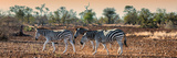 Awesome South Africa Collection Panoramic - Three Zebra Photographic Print by Philippe Hugonnard