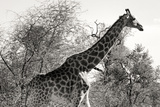 Awesome South Africa Collection B&W - African Giraffe II Photographic Print by Philippe Hugonnard