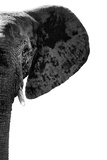 Safari Profile Collection - Elephant White Edition IV Photographic Print by Philippe Hugonnard