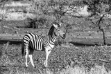 Awesome South Africa Collection B&W - Burchell's Zebra with Oxpecker Photographic Print by Philippe Hugonnard
