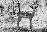 Awesome South Africa Collection B&W - Impala Antelope Portrait Photographic Print by Philippe Hugonnard