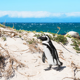 Awesome South Africa Collection Square - African Penguin Photographic Print by Philippe Hugonnard
