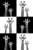 Safari Profile Collection - Two Giraffes Photographic Print by Philippe Hugonnard