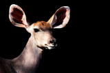 Safari Profile Collection - Antelope Impala Portrait Black Edition Photographic Print by Philippe Hugonnard