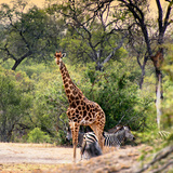 Awesome South Africa Collection Square - Giraffe and Herd of Zebras Photographic Print by Philippe Hugonnard