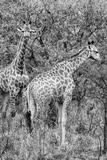 Awesome South Africa Collection B&W - Two Giraffes in the Savanna III Photographic Print by Philippe Hugonnard