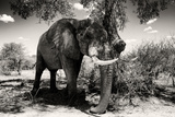 Awesome South Africa Collection B&W - Elephant Portrait X Photographic Print by Philippe Hugonnard