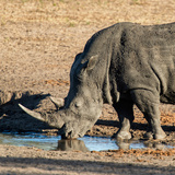 Awesome South Africa Collection Square - Black Rhino drinking from pool of water at Sunset Photographic Print by Philippe Hugonnard
