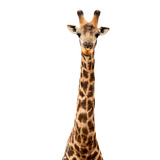 Safari Profile Collection - Giraffe White Edition V Photographic Print by Philippe Hugonnard