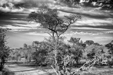 Awesome South Africa Collection B&W - African Landscape with Acacia Tree IV Photographic Print by Philippe Hugonnard