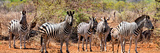 Awesome South Africa Collection Panoramic - Herd of Zebras Photographic Print by Philippe Hugonnard