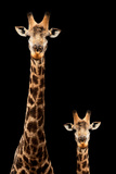 Safari Profile Collection - Giraffe and Baby Black Edition Photographic Print by Philippe Hugonnard