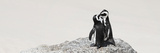 Awesome South Africa Collection Panoramic - Penguins Kissing Photographic Print by Philippe Hugonnard