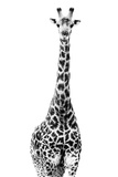 Safari Profile Collection - Giraffe White Edition II Photographic Print by Philippe Hugonnard
