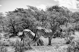Awesome South Africa Collection B&W - Two Burchell's Zebras III Photographic Print by Philippe Hugonnard
