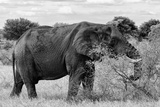Awesome South Africa Collection B&W - African Elephant III Photographic Print by Philippe Hugonnard