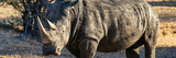 Awesome South Africa Collection Panoramic - Black Rhino at Sunset Photographic Print by Philippe Hugonnard