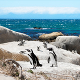 Awesome South Africa Collection Square - Penguin Colony Photographic Print by Philippe Hugonnard